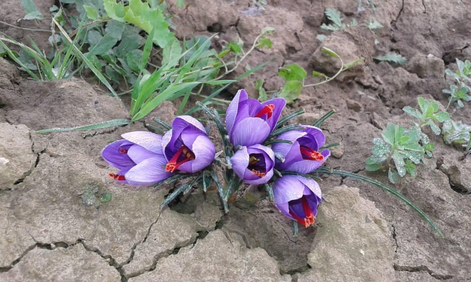 Zafferano in fiore all'azienda agricola 'I Cuori' (2)