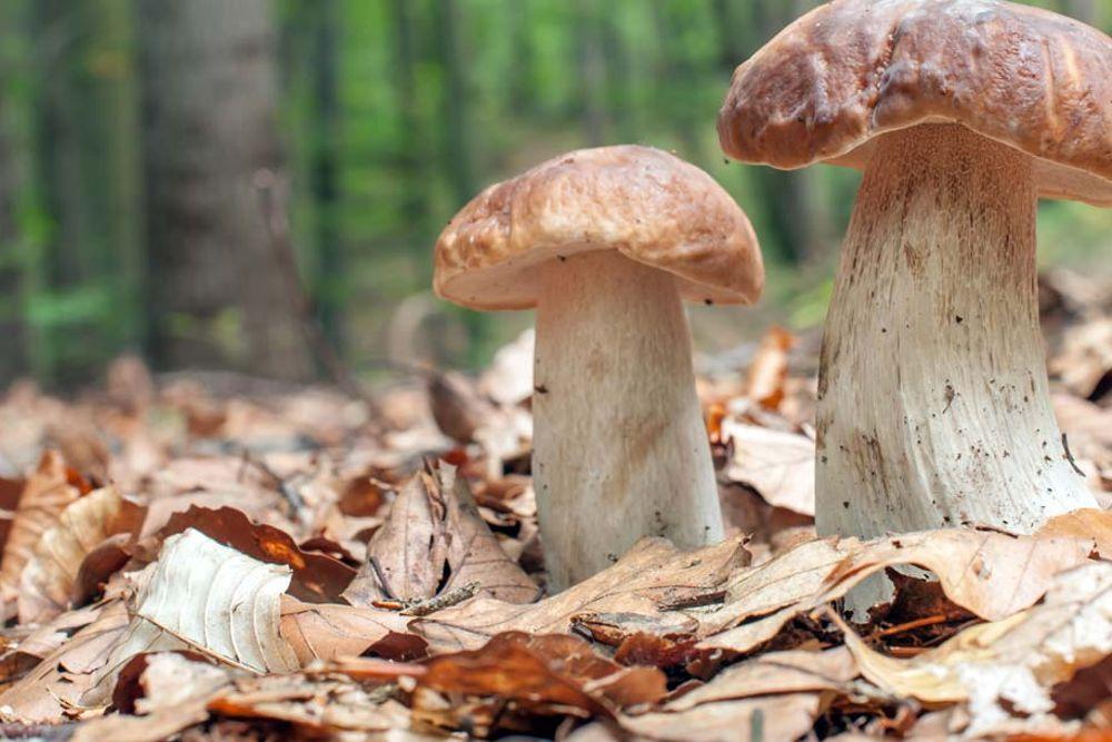 Funghi porcini nel bosco