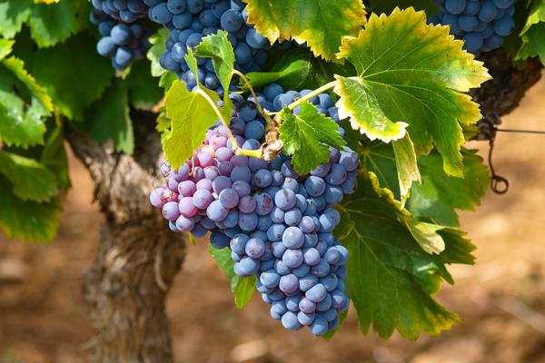 Festa dell'uva - Alfonsine RA