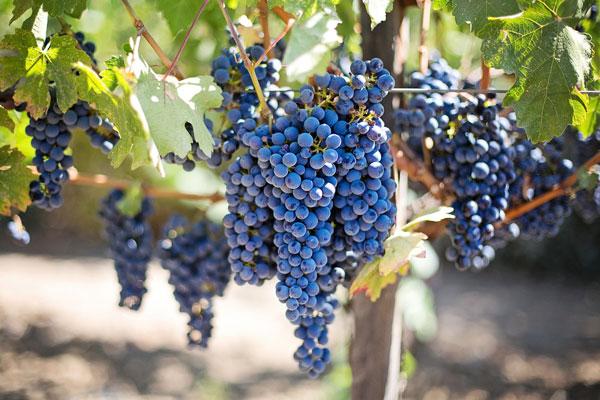 Sagra dell'Uva a Riolo Terme